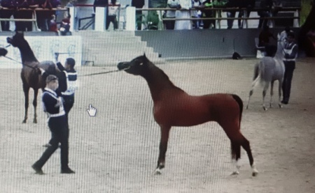 AJMAL THO AL JANAH - 3rd place Colts 2 Years Old - Qatar National Show 2018