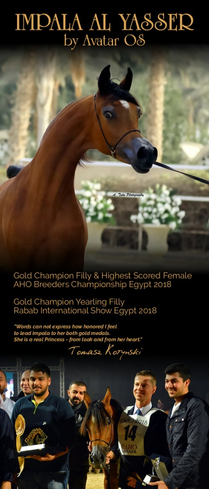 IMPALA AL YASSER - the highest scored female (92,00) and Gold Medal Yearling Filly AHO Breeders Championship Egypt 2018